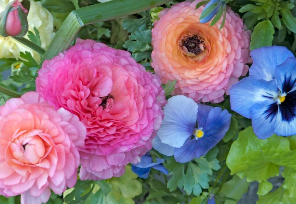 Ranunculus-Pansy-Lettuce